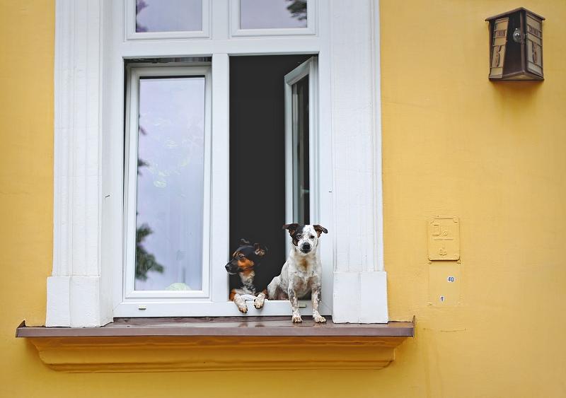 Psy w oknie