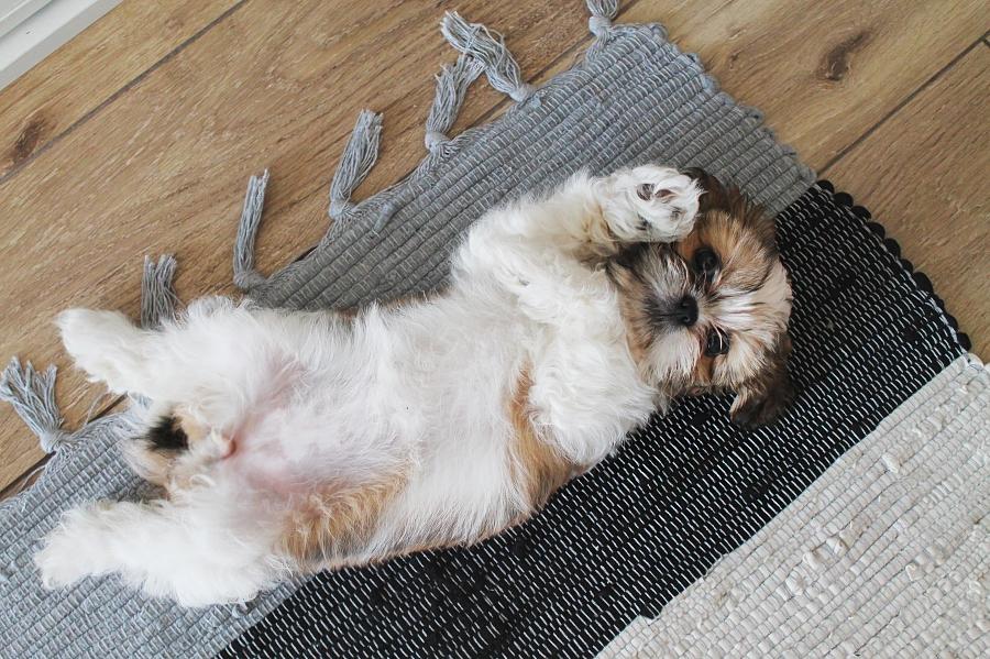 Figa na dywanie - shih tzu
