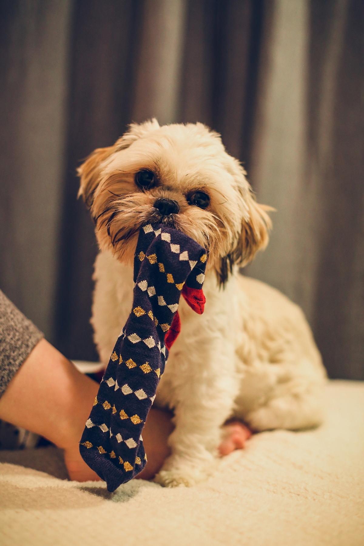 świąteczny prezent sesja świąteczna z psem shih tzu